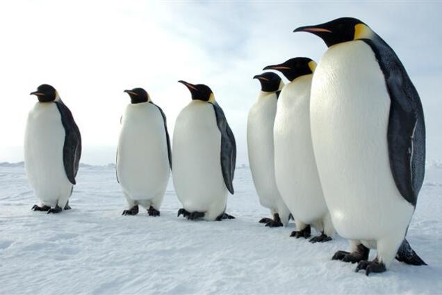 Давай селфі: як пінгвіни реагували на камеру