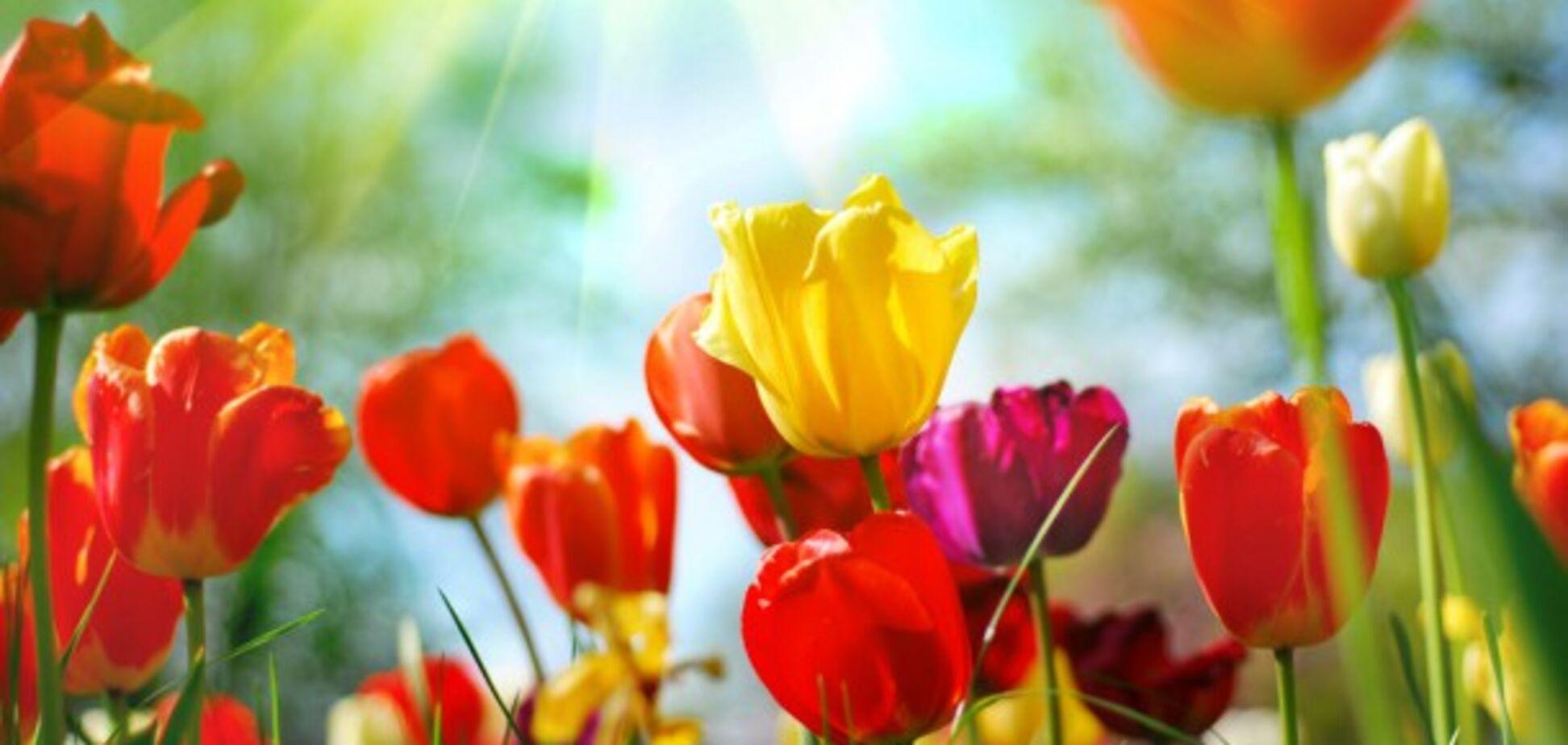 Мелітополь засадять тюльпанами