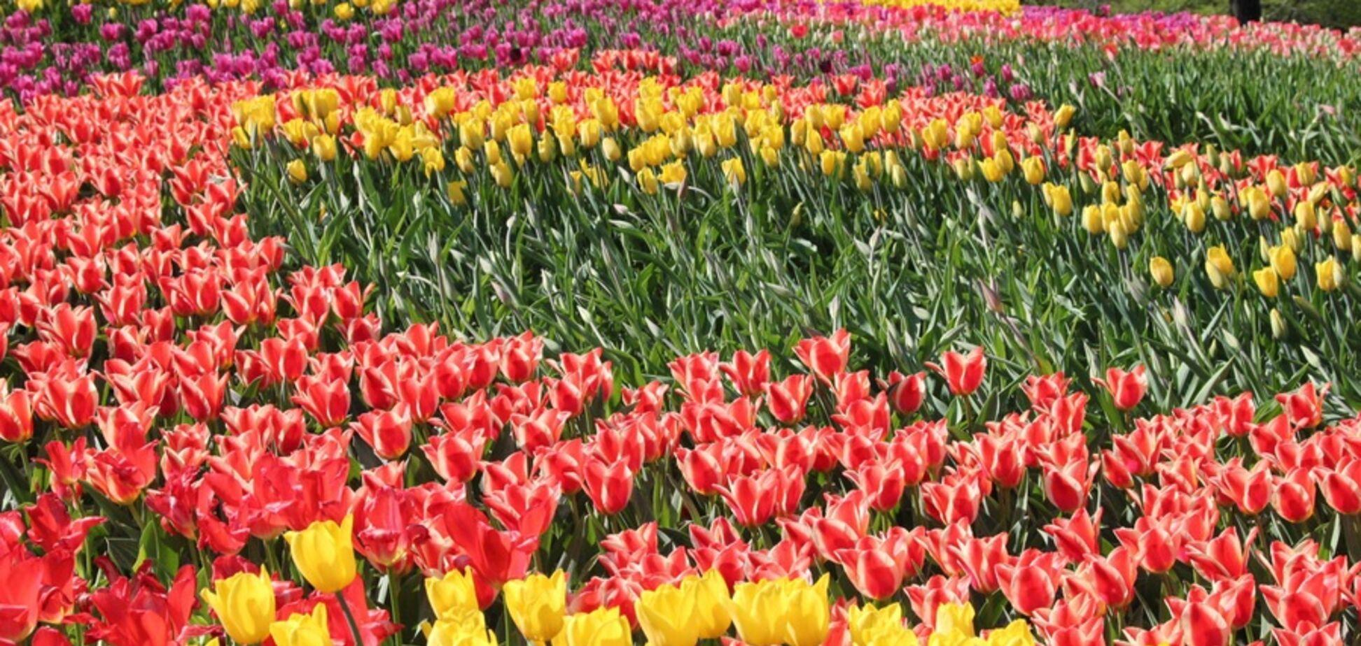 В Киеве пройдет выставка тюльпанов