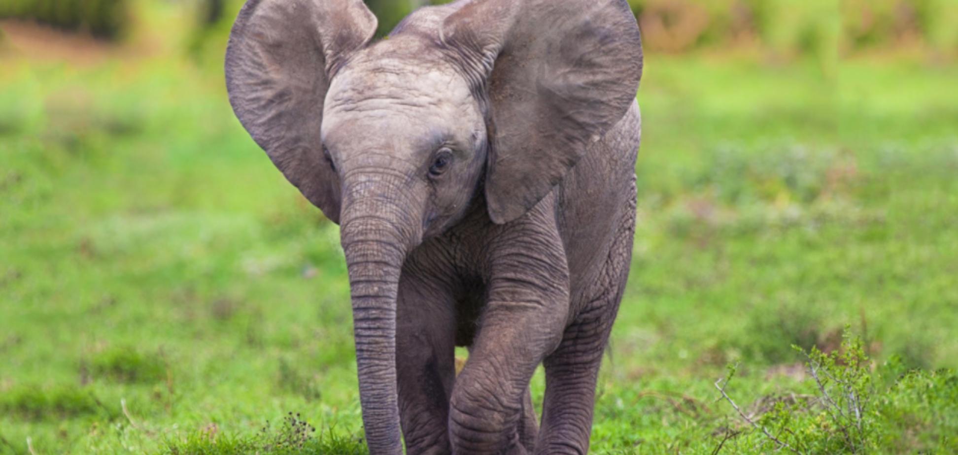 слоненя