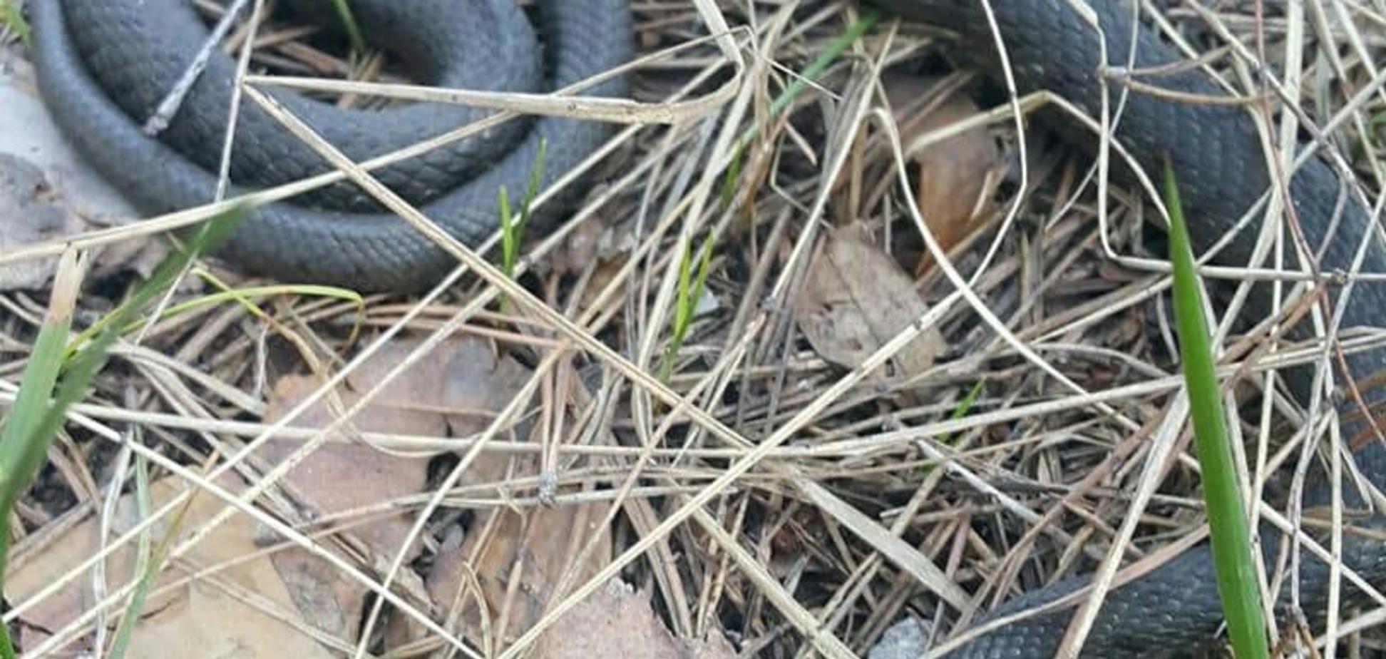 У Києві помітили отруйних змій: як уберегтися від нападу