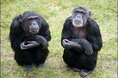 Ученые объяснили причину кровавой войны шимпанзе