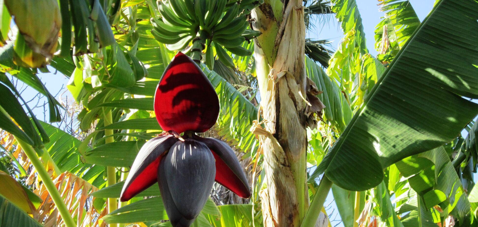 Бананы сеять рано: каким будет лето в Украине и что будет с урожаем
