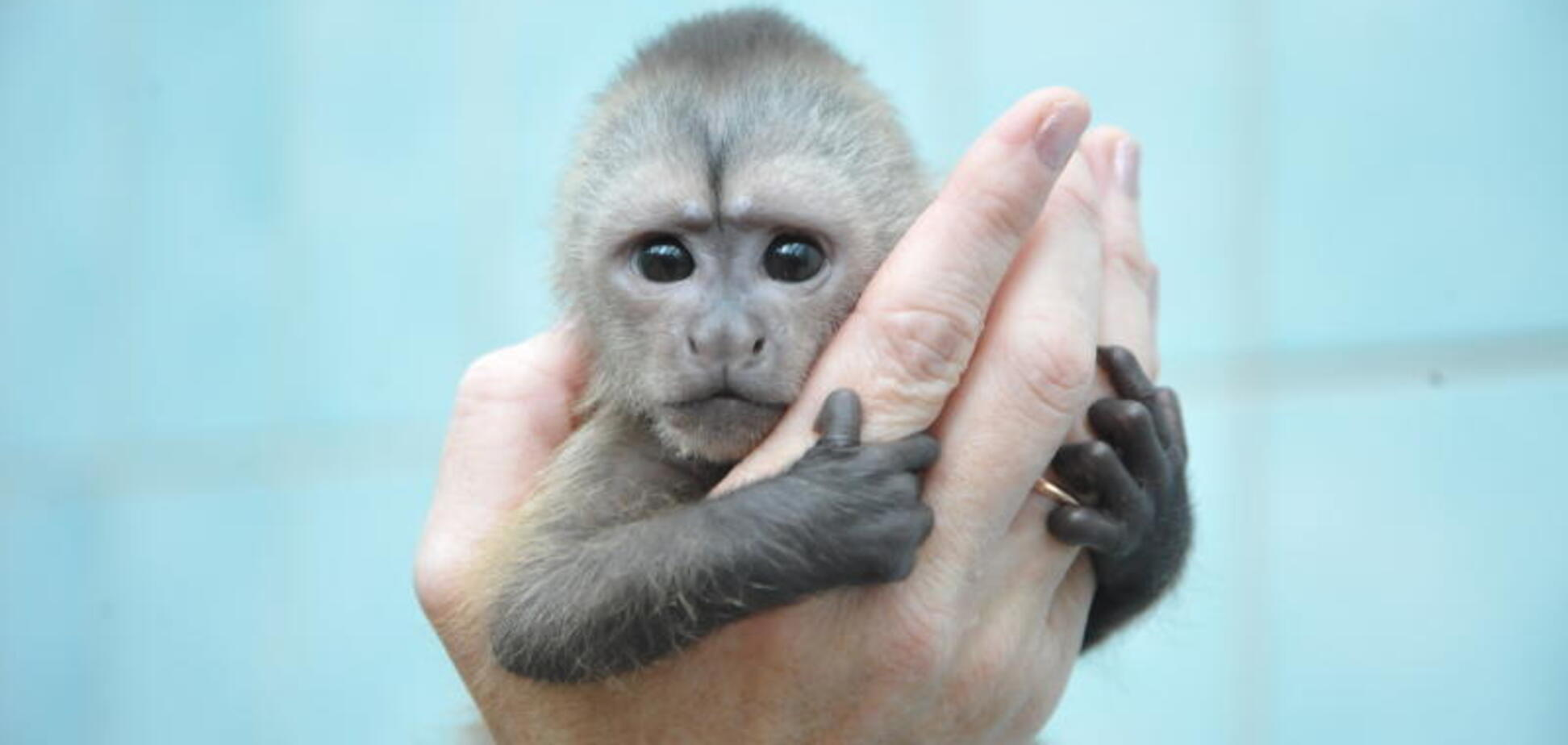 У зоопарку Бердянська народився маленький капуцинчик: відео