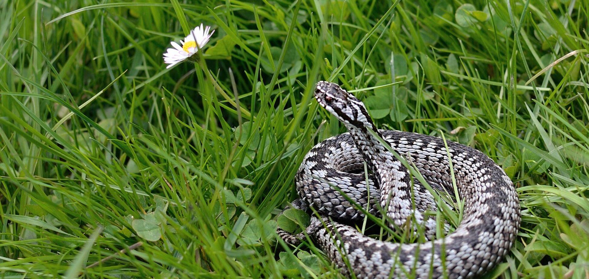 У Дніпрі побільшало гадюк: зоолог попередив про небезпеку