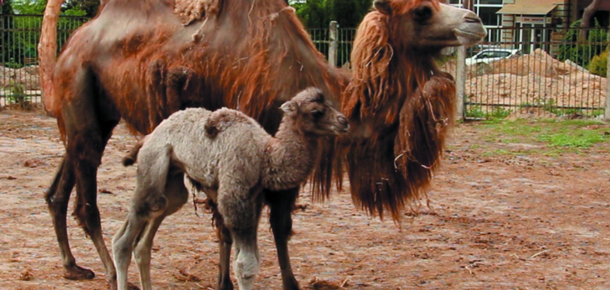 У зоопарку Харкова народилося миле верблюденя: опубліковані фото і відео