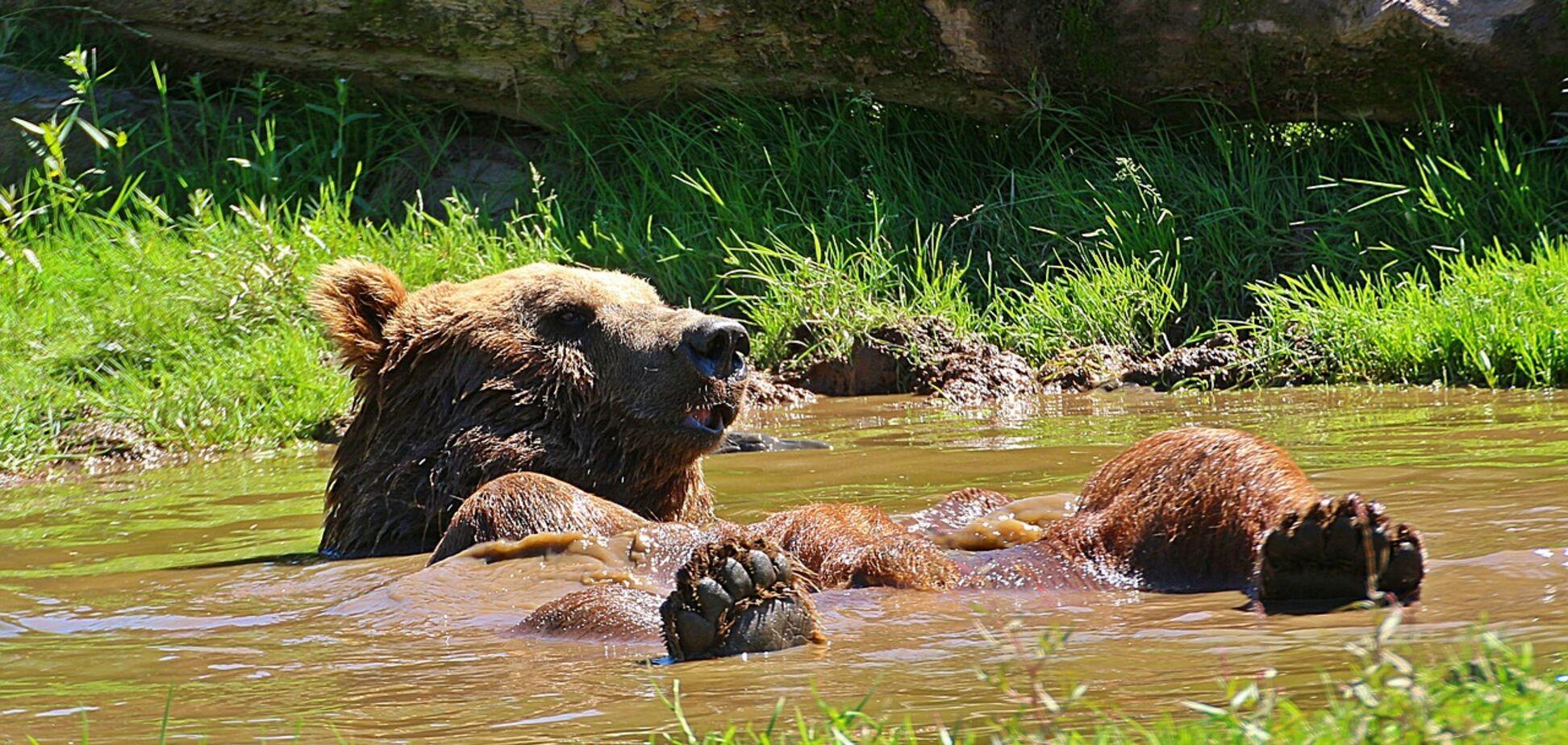 У Каліфорнії ведмідь стрибнув у басейн, рятуючись від спеки