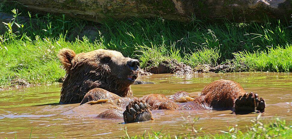В Калифорнии медведь прыгнул в бассейн, спасаясь от жары