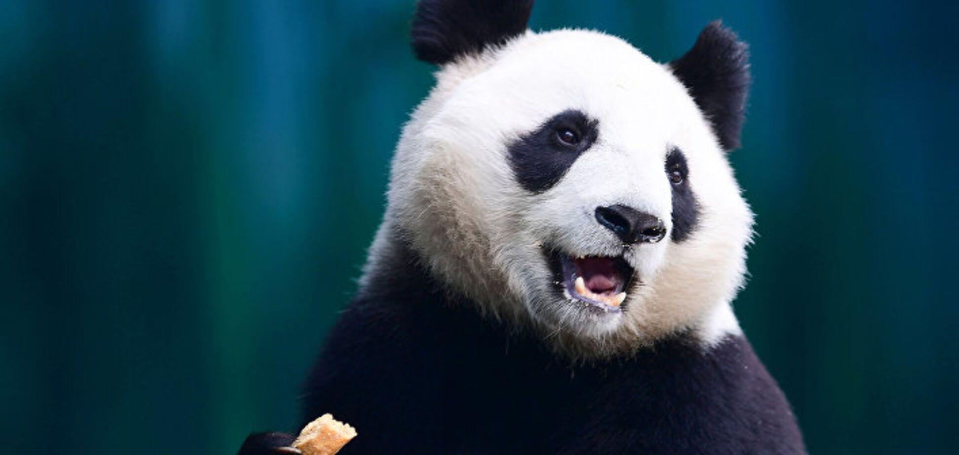 Впервые в этом году: панда родила близнецов