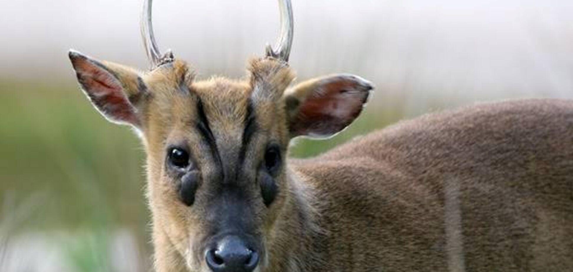 У Київському зоопарку з'явилися гавкаючі олені: відео