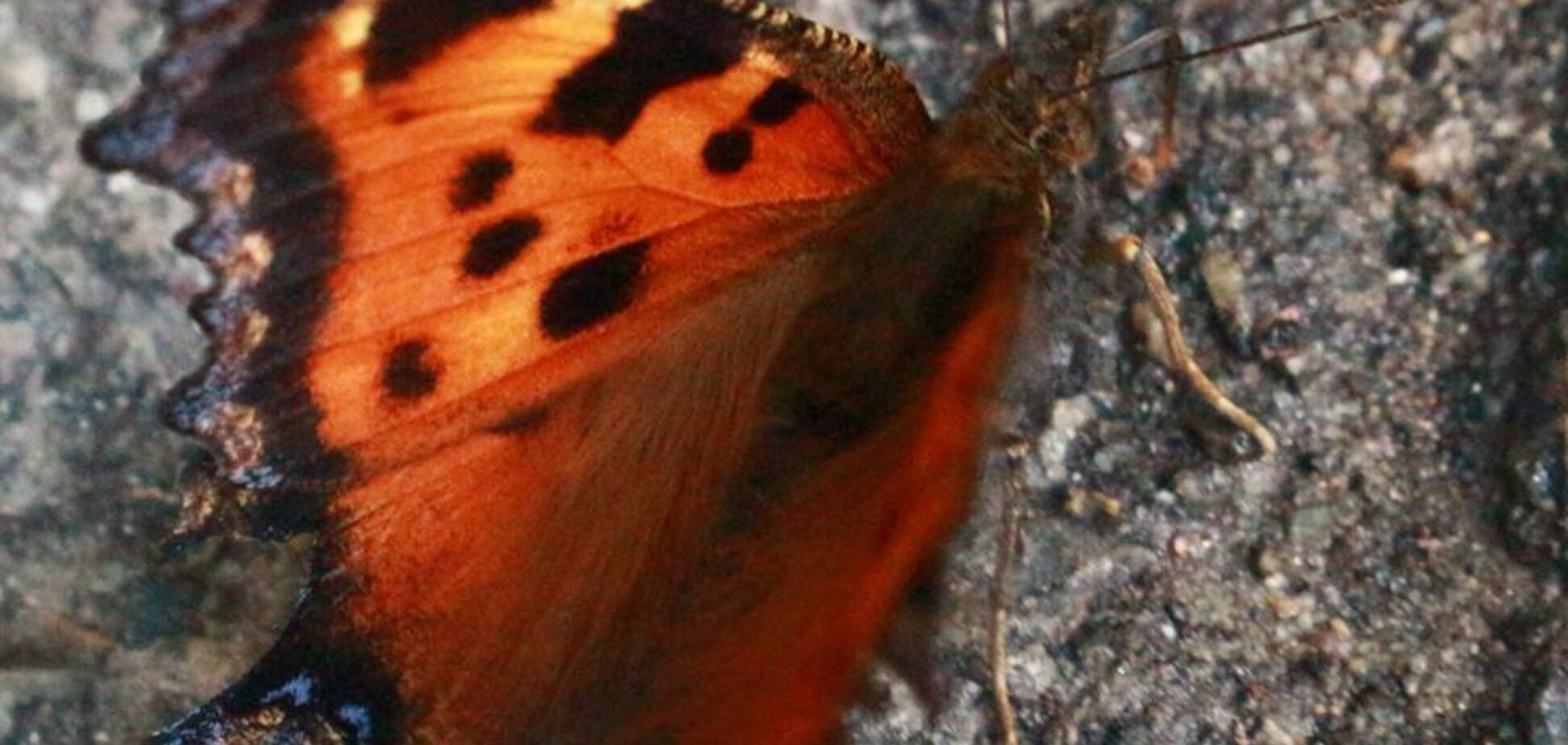 Нашествие бабочек в Киеве: названа причина
