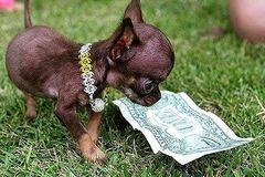 Самую маленькую собаку в мире клонировали 49 раз