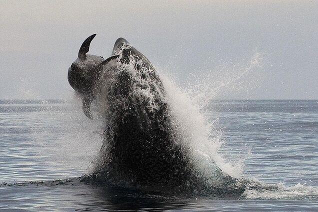 Невероятная охота косаток на горбатых китов попала на видео