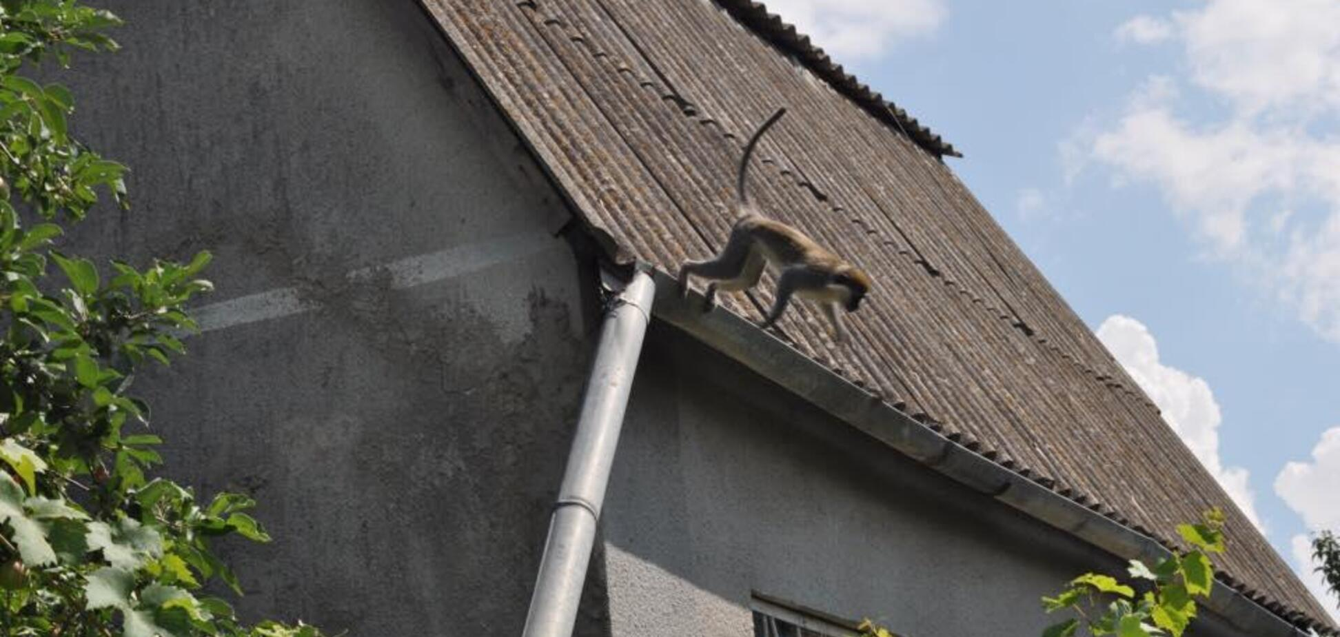 Під Одесою зграя мавп влаштувала терор місцевим жителям