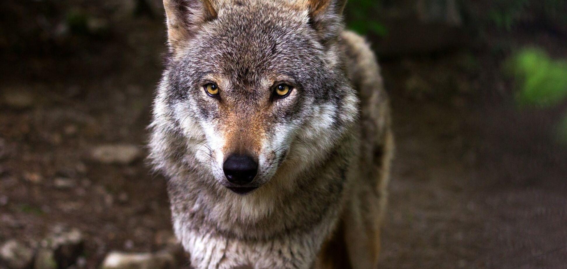 Киев и область атаковали волки? Есть ли угроза и что делать