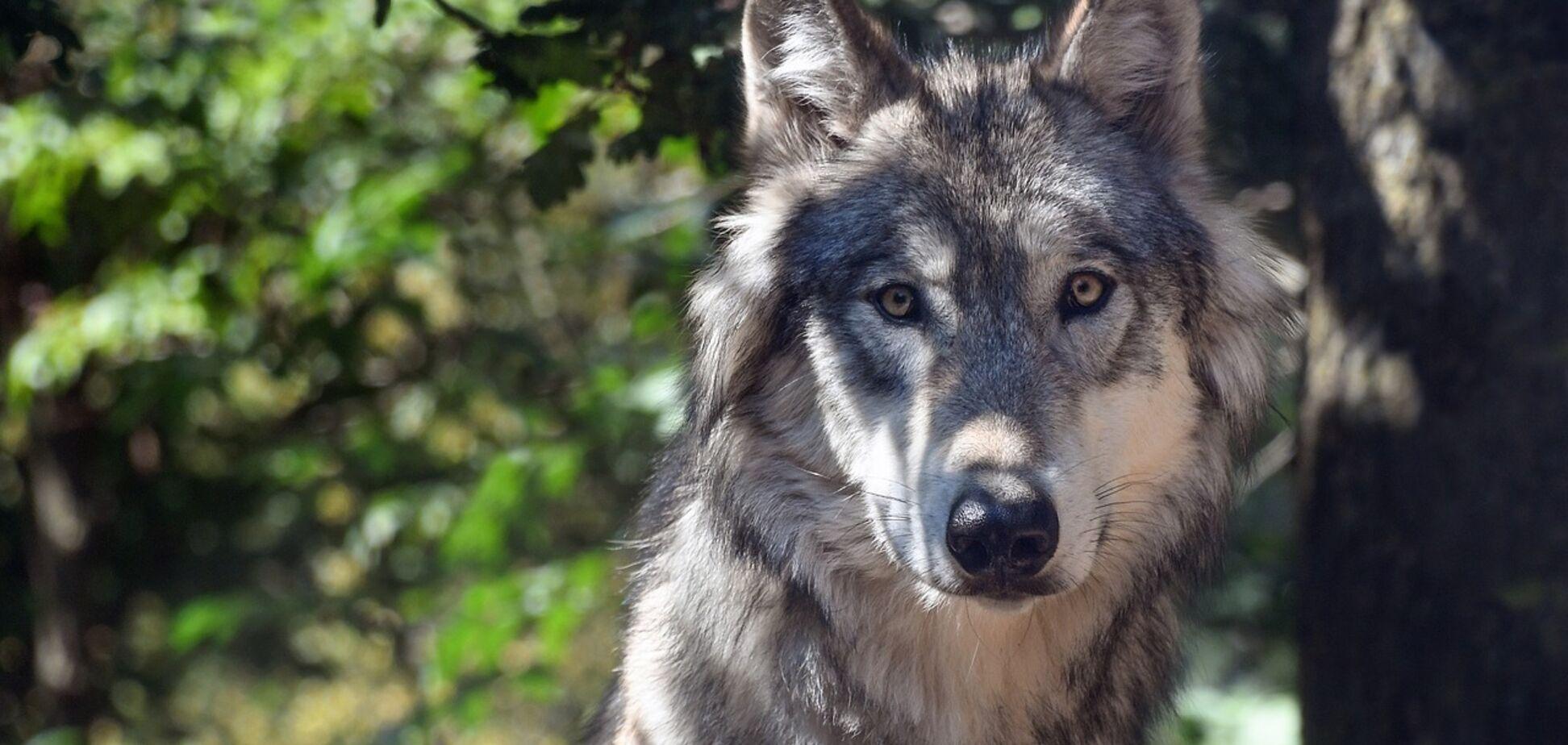 На сотни километров от зоны отчуждения: ученые проследили миграцию 'чернобыльского' волка