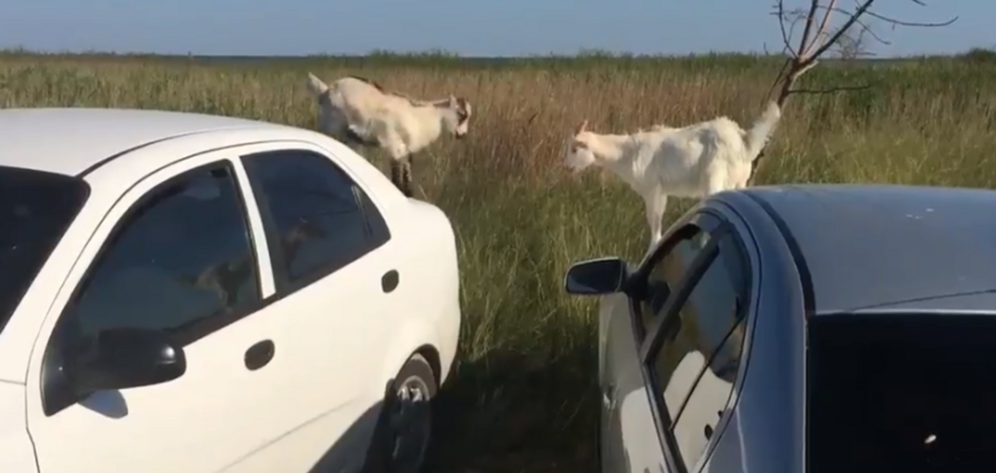 На запорожском курорте козлы прыгали по авто: момент сняли на видео