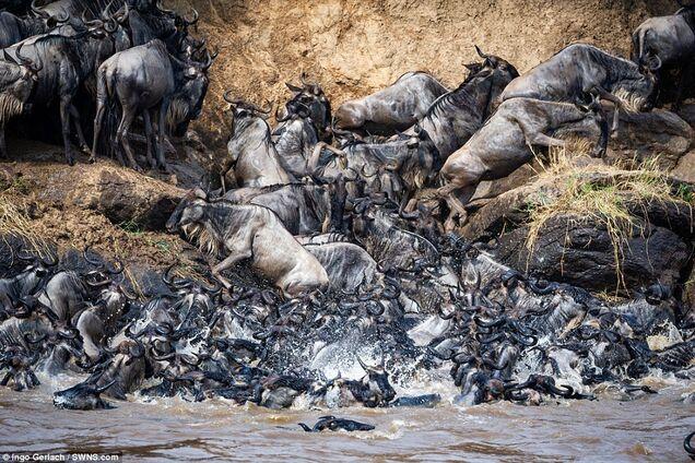 Прыгали в реку, кишащую крокодилами: в сети появились яркие фото миграции антилоп