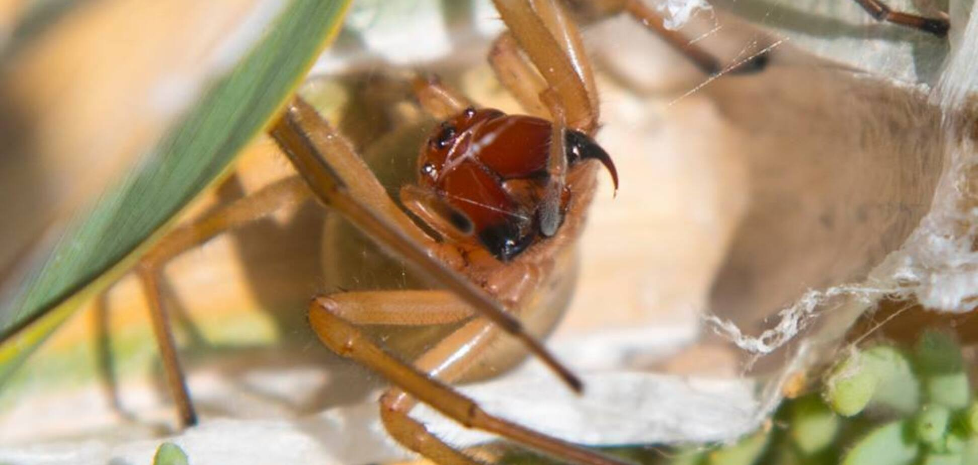 Німіють ноги і болить усе тіло: в Україні оселився небезпечний для людини павук