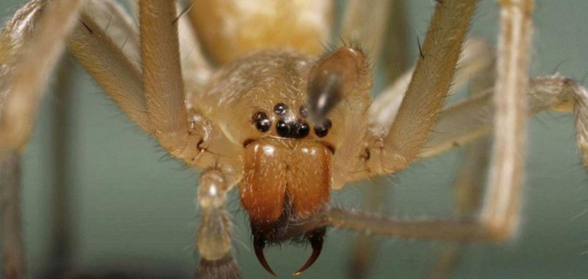 В Україні з'явився отруйний павук: як уберегтися і що робити з укусом