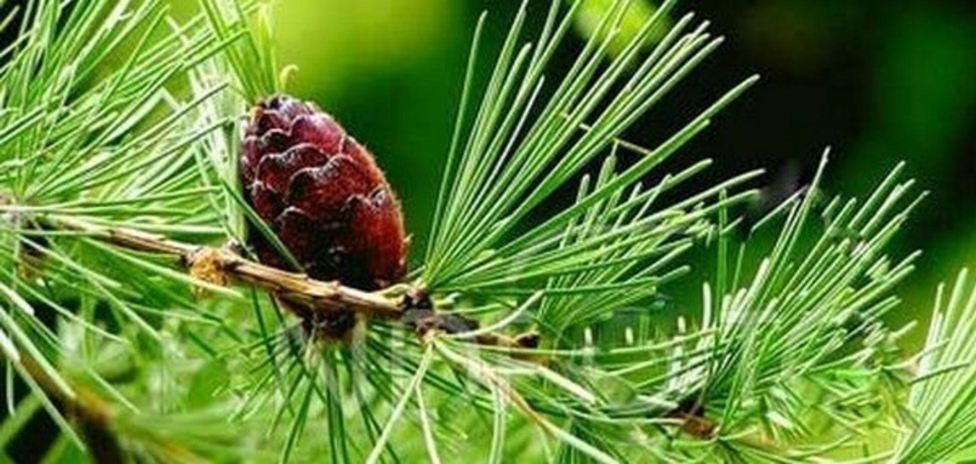 Вчені знайшли в деревах ідеальні ліки від хвороб серця