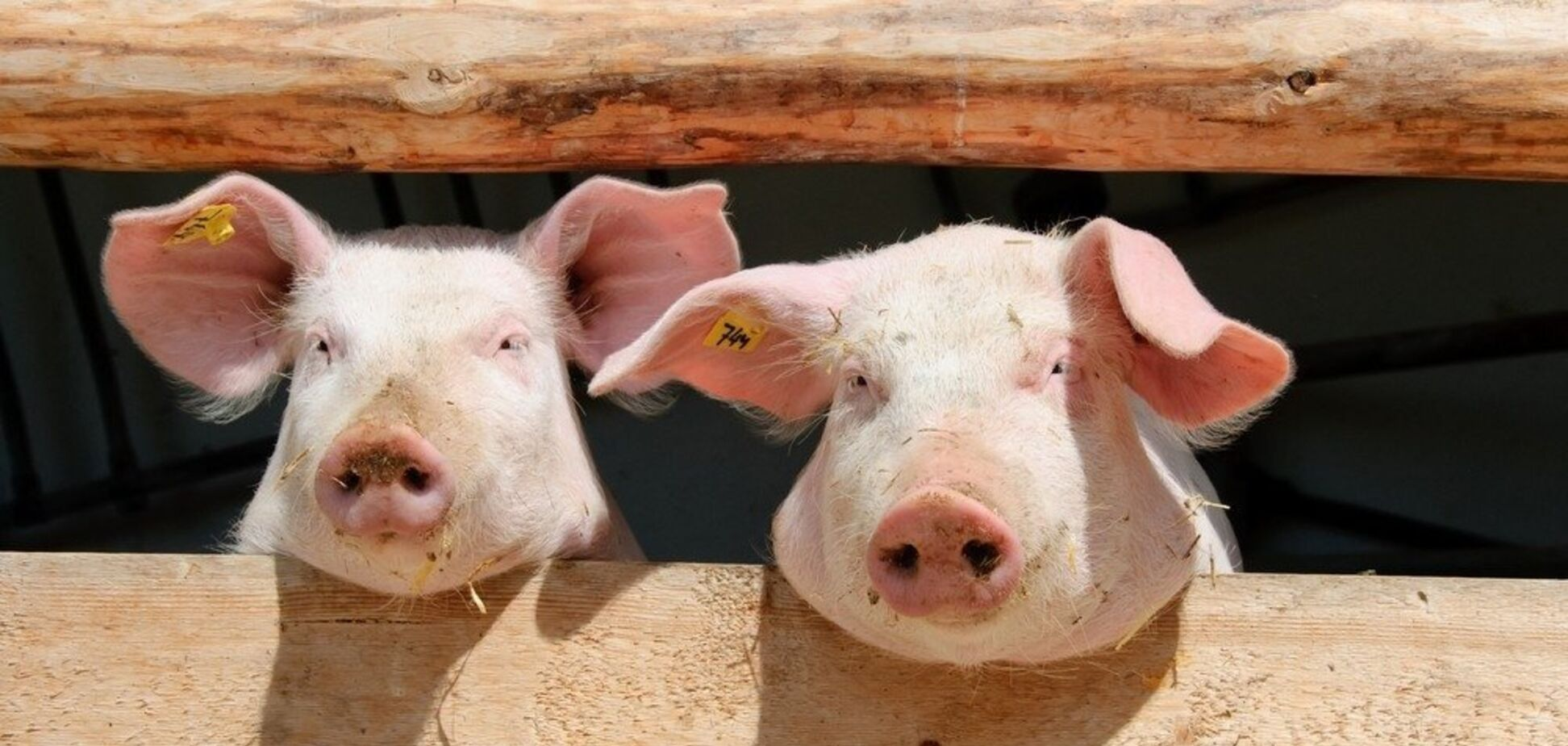 Можуть убити всіх бродячих тварин: в Україні ''прокинулася'' небезпечна інфекція
