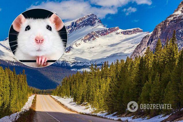 25 января 2020 года наступит Год Белой Крысы