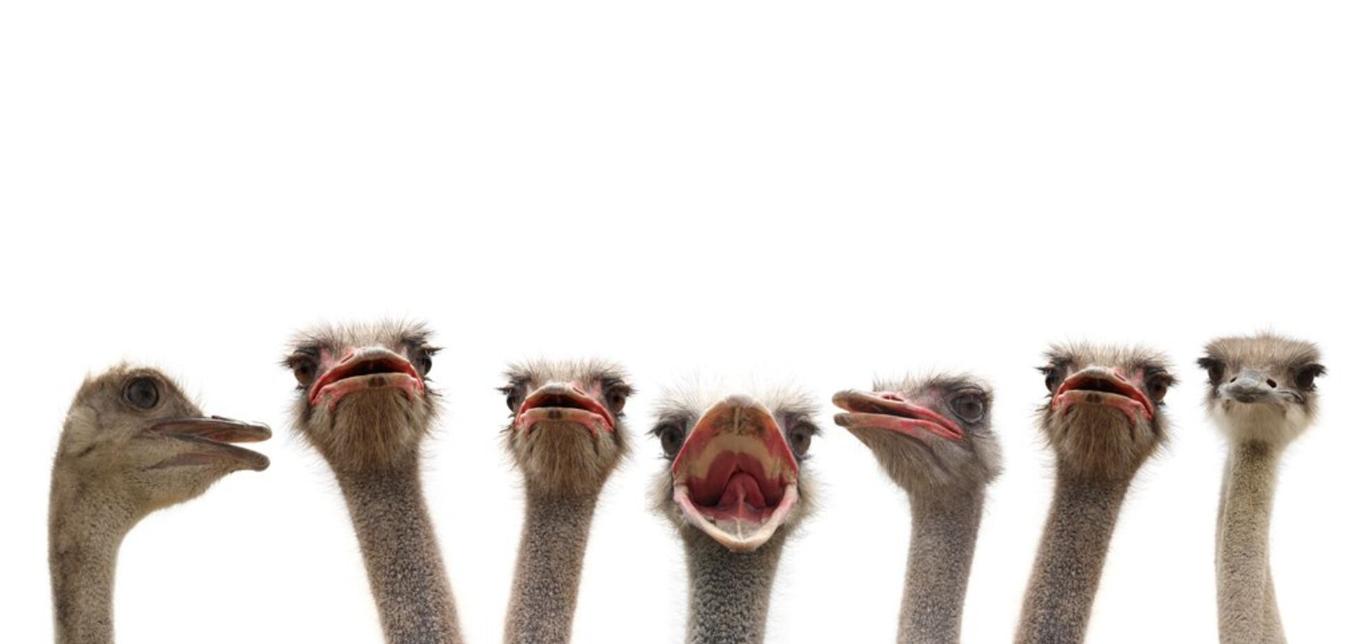 страус