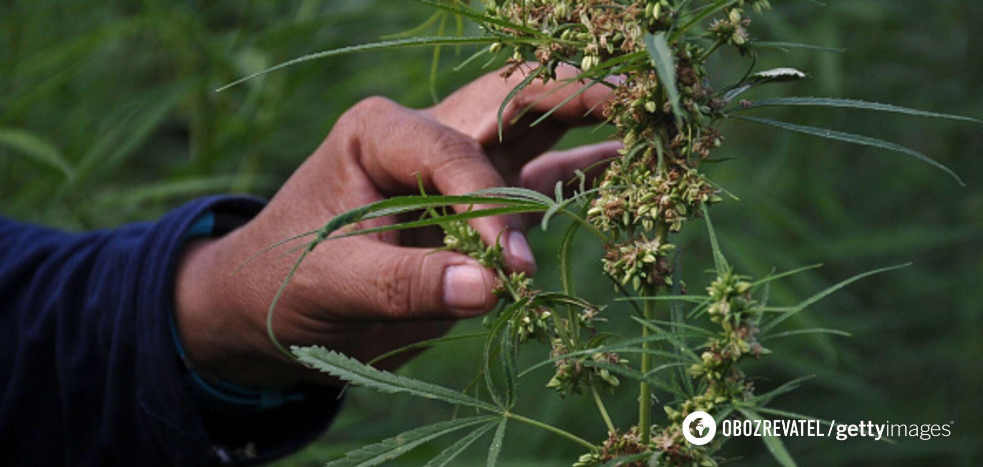 'Наркомани і повії — зло': озвучений прогноз щодо легалізації марихуани в Україні