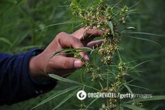 Лікар назвав два аргументи за легалізацію медичної марихуани в Україні