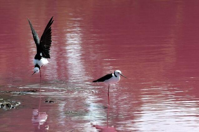 Озеро в Мельбурне стало розового цвета: в чем причина