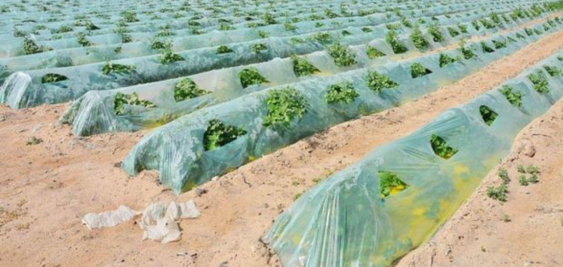 Как в Израиле выращивают овощи на песке