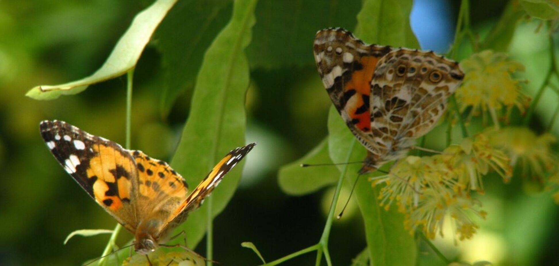 'Их миллионы': в Киеве заметили нашествие бабочек