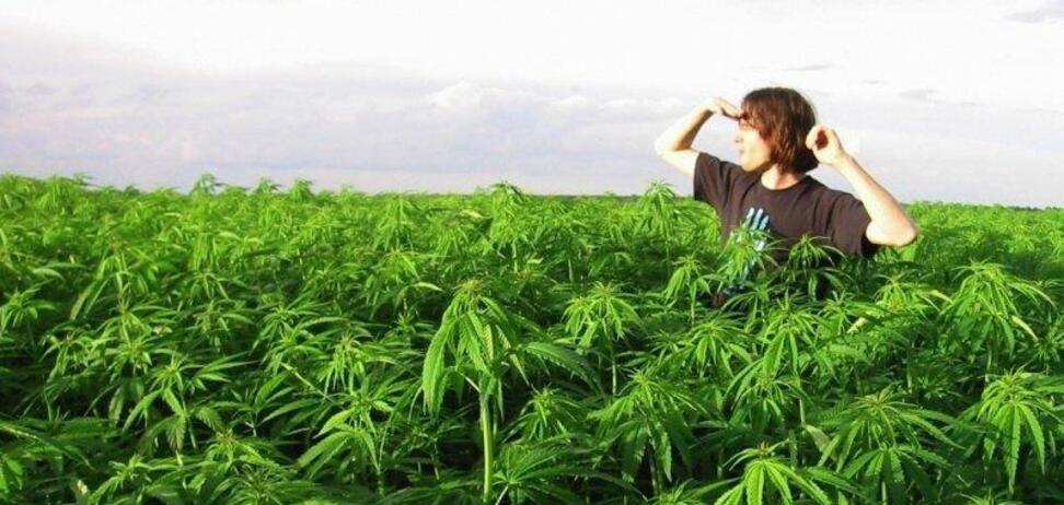 Поймали с кустами конопли хранение марихуаны срок