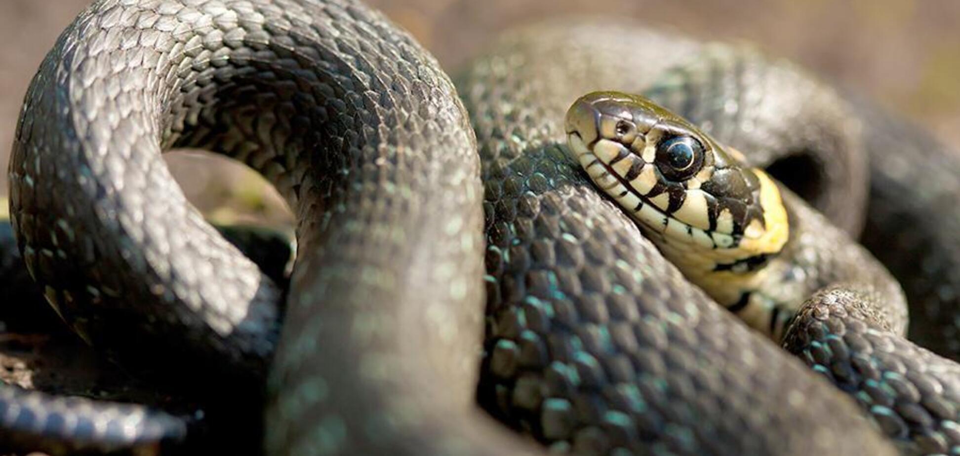 В Днепре в частном доме поймали 1,5-метровую змею. Фото и видео
