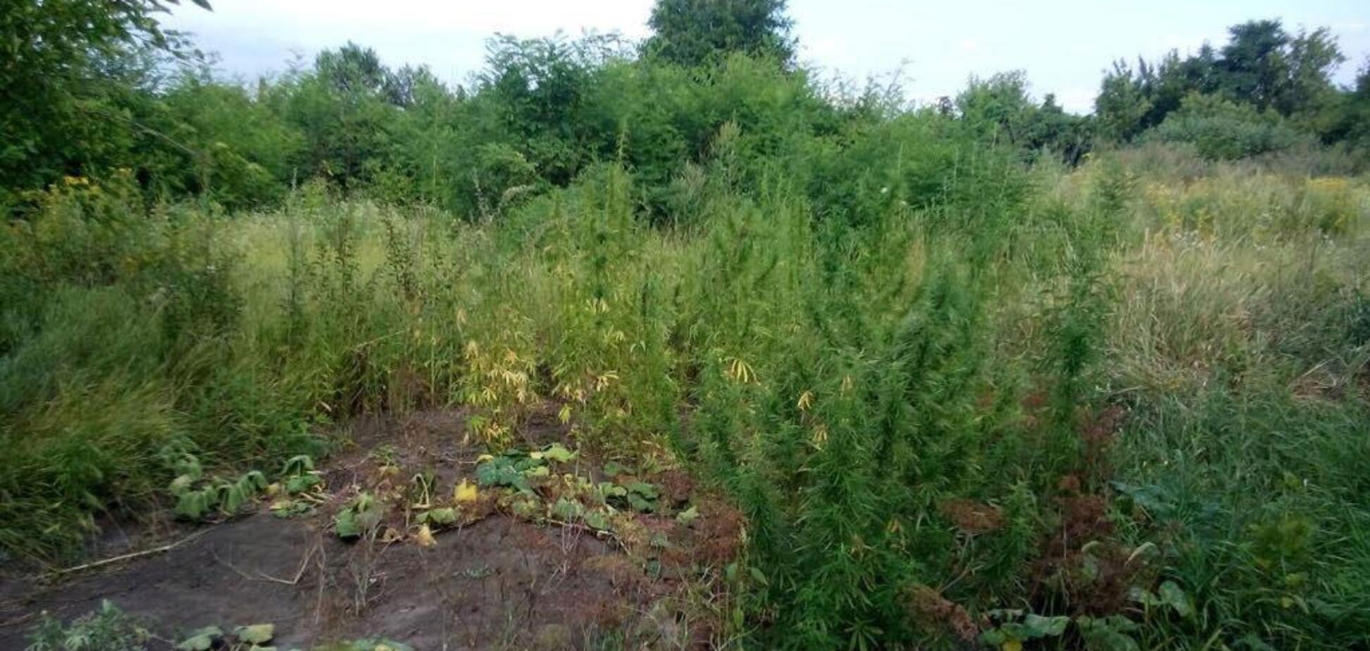 'Образцовый' огородник: на Днепропетровщине пенсионер вырастил сотни кустов конопли