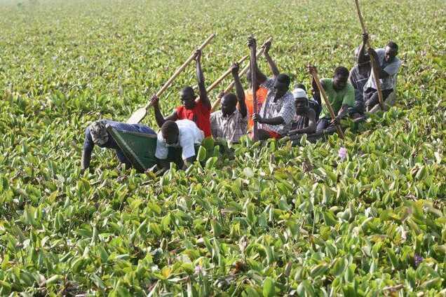 Гиацинты на озере Виктория в Кении