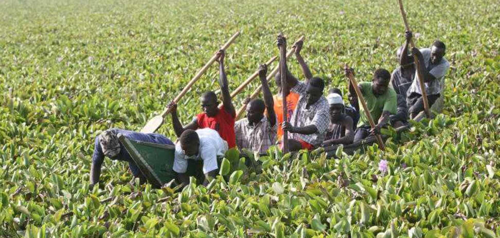 В Кении водоросль-убийцу сделают неиссякаемым источником энергии