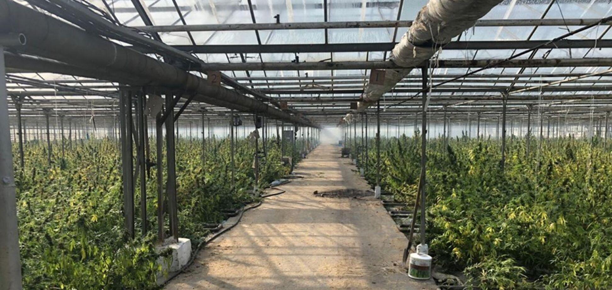 Плантація марихуани в Івано-Франківській області