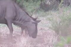 Сражалась до последнего: в сети опубликовали душераздирающее видео битвы антилопы с шакалами