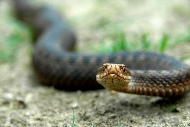 У Дніпрі рятувальники виловили змію в відділенні пошти (ілюстрація)