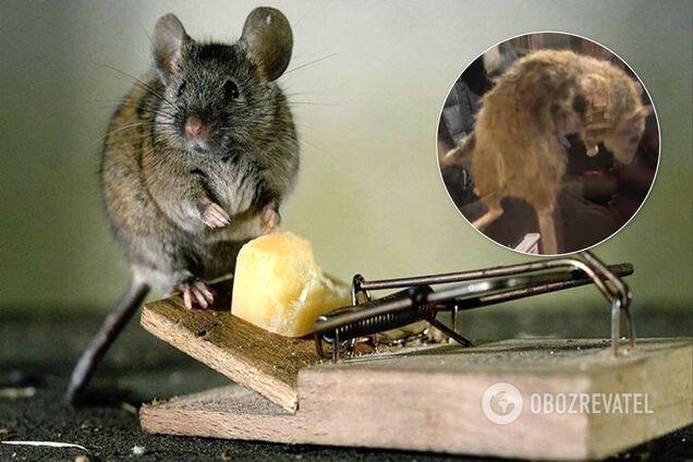 В России поймали гигантскую крысу
