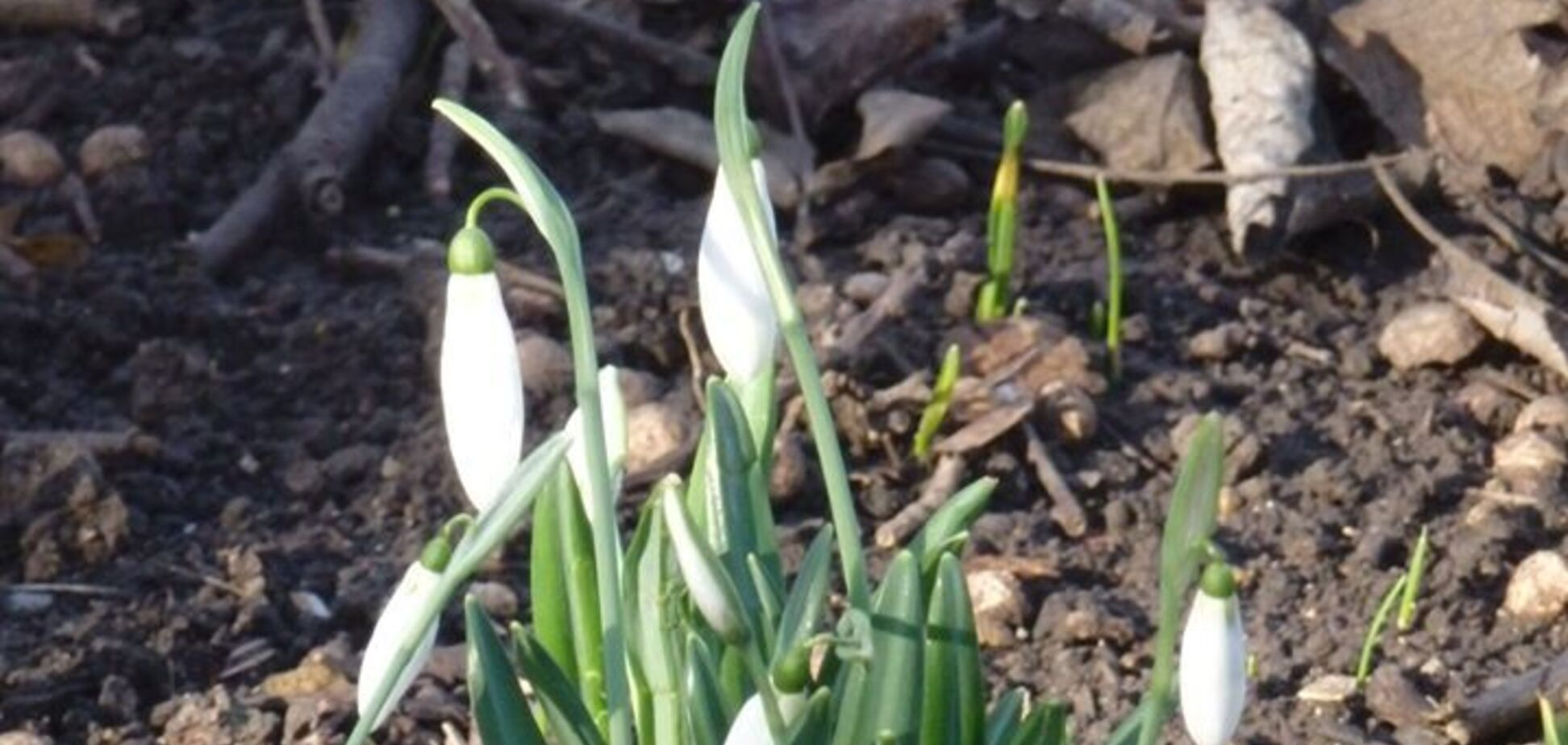 В Одесі на Новий рік розцвіли проліски