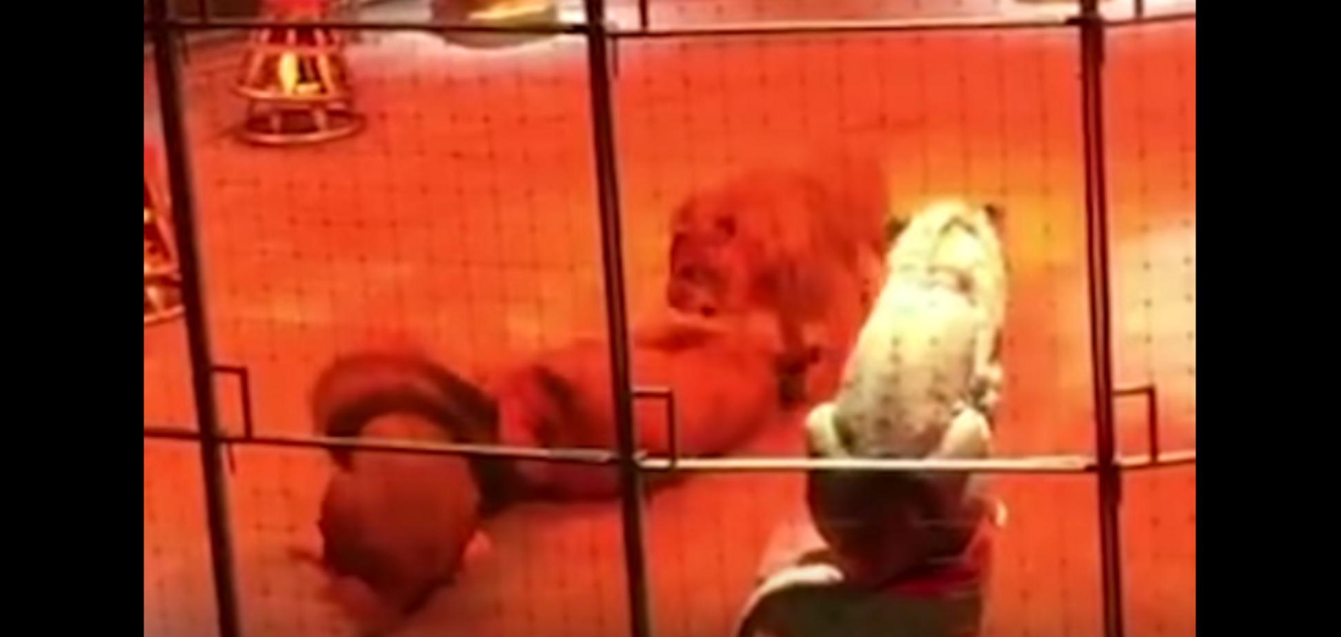 В Екатеринбургском цирке львы напали друг на друга
