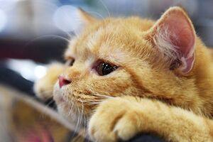 Аллерген на эпителий и перхоть кошки