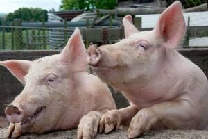 Аллерген на свинину