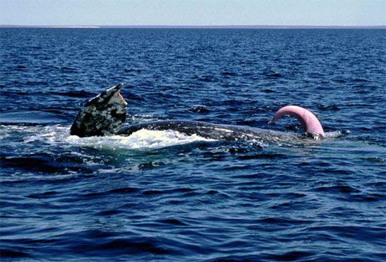 У китів почався шлюбний сезон