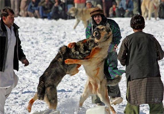 Кабул. Новорічні собачі бої