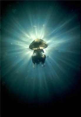 Медузи Чорного моря