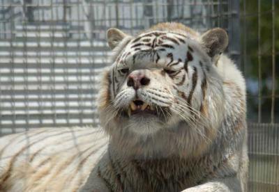 Тигр-симпатюля